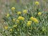 Barestem desert-parsley, Lomatium nudicaule