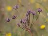 Barestem desert-parsley seedhead, Lomatium nudicaule