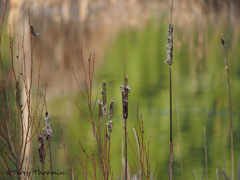 Common cattails in winter, Typha latifolia