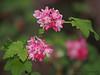 Red-flowering currant, Ribes sanguineum