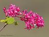 Red flowering currant, Ribes sanguineum