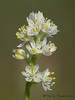 Sticky false asphodel, Triantha glutinosa
