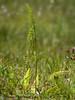 Deer fern, Blechnum spicant