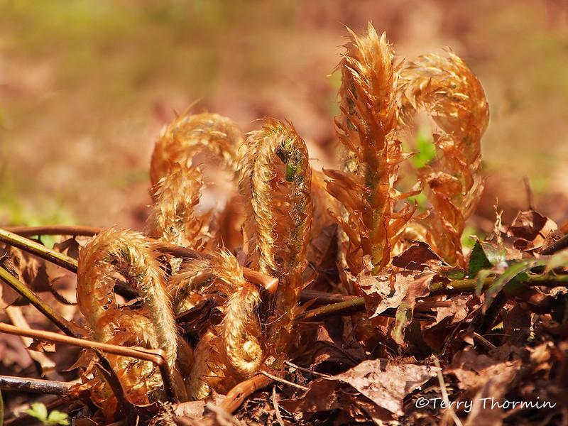 Sword fern - Polystichum munitum, new spring fronds