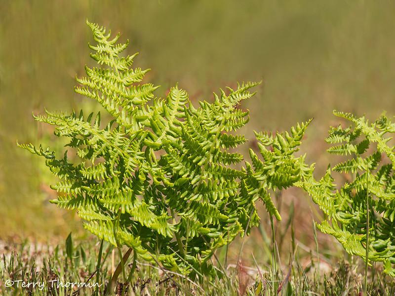 Bracken fern - Pteridium aquilinum