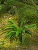 Deer fern, Blechnum picant