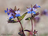 Small-flowered blue-eyed Mary, Collinsia parviflora