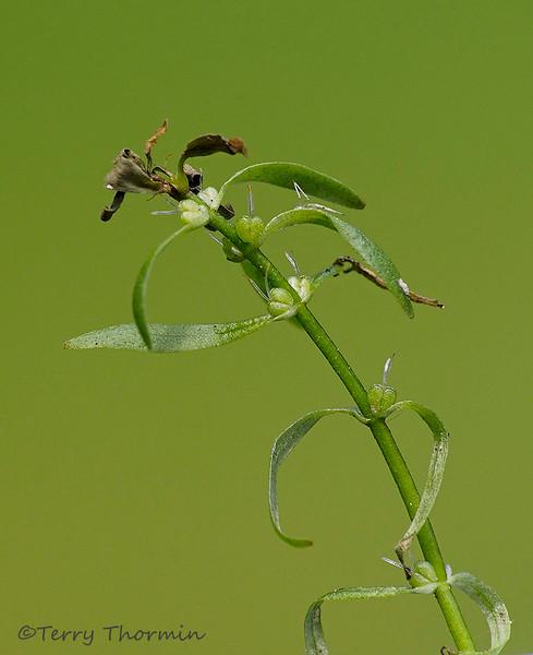 Diverse-leaved water-starwort, Callitriche heterophylla