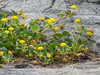 Yellow sand-verbena, Abronia latifoli