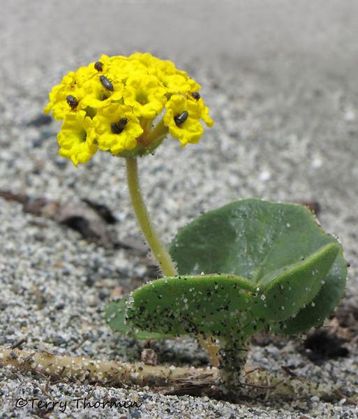 Yellow sand-verbena - Abronia latifolia