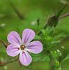 Robert's geranium - Geranium robertianum