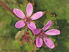 Common stork's bill - Erodium cicutarium