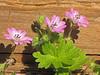 Dovefoot geranium - Geranium molle