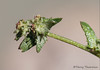 Common orache, Atriplex patula
