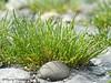 American glasswort, Salicornia virginica