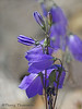 Common harebell, Campanula rotundifolia