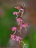 Pink wintergreen, Pyrola asarifolia