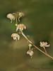 Unidentified wintergreen, Pyrola sp.