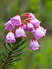 Pink mountain-heather, Phyllodoce empetriformis - Paradise Meadows, Strathcona Provincial Park, B.C.