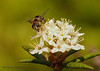 Drone Fly, Eristalis tenax on Labrador tea