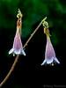 Twinflower, Linnaea borealis