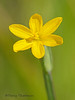 Golden-eyed grass, Sisyrinchium californicum