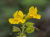Yellow monkey-flower, Mimulus guttatus