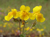 Yellow monkey-flower, Mimulus guttatus - Nanaimo