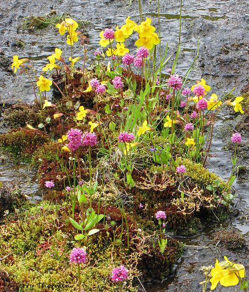 Yellow monkey-flower and sea blush - Nanaimo