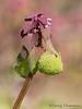 Purple dead nettle, Lamium purpureum
