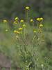 Field Mustard, Brassica rapa