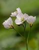 Slender toothwort, Cardamine nuttallii