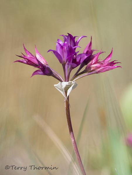 Hooker's onion, Allium acuminatum