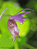 Fairy-slipper, Calypso bulbosa - Comox, B.C.