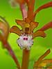 Spotted coralroot, Corallorhiza maculata