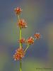 Tapered Rush, Juncus acuminatus - Little River Pond