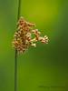 Common rush, Juncus effusus