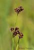 Dagger-leaved rush, Juncus ensifolius