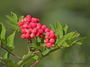 Sitka mountain-ash berries, Sorbus sitchensis