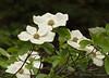 Western flowering dogwood, Cornus  nuttallii