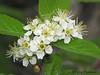 Bitter Cherry - Prunus emarginata
