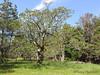 Garry Oak - Quercus garryana