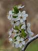 Bitter Cherry, Prunus emarginata - Cumberland Marsh