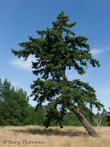 Douglas-fir, Pseudotsuga menziesii