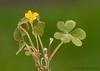 Yellow oxalis, Oxalis corniculata