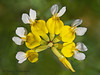 Bog birds-foot trefoil, Lotus pinnatus - Nanaimo