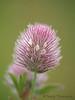 Hare's-foot clover, Trifolium arvense
