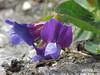 Beach Pea, Lathyrus japonicus