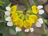 Bog bird's-foot trefoil, Lotus pinnatus - Nanaimo
