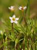Bicolored flaxflower - Leptosiphon bicolor - Hornby Island